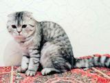Вислоухий шотландский кот Вискас в серебре приглашает на вязку кошечку